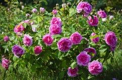Rose Flower Foto de archivo libre de regalías