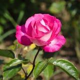 Rose Flower Foto de archivo