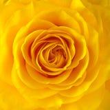 Rose Flower imagen de archivo libre de regalías
