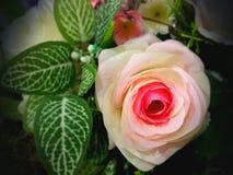 Rose Flower Immagini Stock