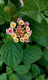 Rose Flower Lizenzfreie Stockbilder