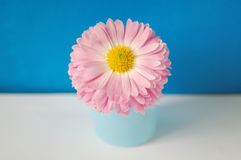 Rose flower. The rose flower isolated on the blue background Stock Photo