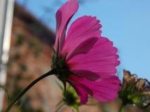 Rose Flower fotos de archivo