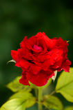 Rose Flower Lizenzfreie Stockfotografie