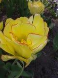 Rose Flower Fotografía de archivo