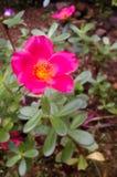 Rose Flower fotografie stock