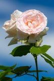 Rose Flower Stockbilder