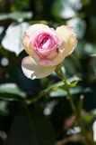 Rose Flower Stockbilder