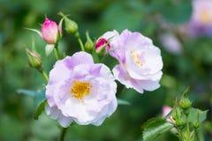 Rose Flower Lizenzfreie Stockfotos