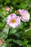 Rose Flower Stockfoto