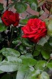 Rose Flower Immagine Stock