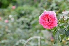 Rose Flower Fotografie Stock Libere da Diritti