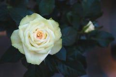 Rose Flower Lizenzfreies Stockfoto