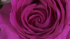 Rose Flower-Abschluss herauf Hintergrund Schöne dunkelrote Rosen-Nahaufnahme Symbol der Liebe Valentine Card-Design HD 1080p stock video