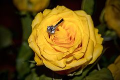 Rose Flower amarela com Ring Engagement Detail Beautiful Close-Up Foto de Stock