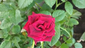 Rose flower. Ang green leaves image royalty free stock images