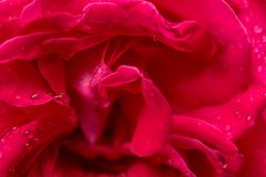 Rose Flower Background. Beautiful rose flower with rain drops royalty free stock images