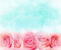 Rose flower background. Background of bright blue and pink roses royalty free stock images