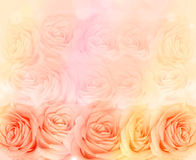 Rose flower background. Background of bright tea roses royalty free stock photos