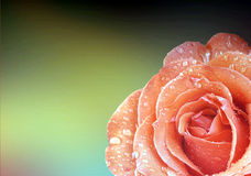 Rose flower background Royalty Free Stock Photography