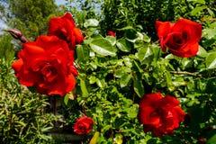 Rose Flower Background floreciente ilustración del vector