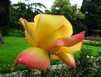 Rose Flower. Beautiful Rose Flower of the Garden in Mainau stock image