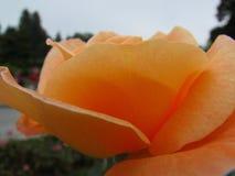 Rose Flower. Beautiful Rose Flower of the Garden in Mainau royalty free stock photos