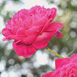Rose flower Royalty Free Stock Photography