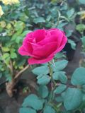 Rose flower. Beautiful rose flower picture. Nice royalty free stock image