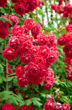 Rose flower bed in  garden Royalty Free Stock Photo