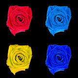 Rose flower, black isolated background. Macro.  Pink, blue, red, orange. Royalty Free Stock Photos