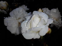 Rose. Flower, bloom, white, night, water Stock Photo