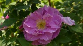 Rose Flower blooming in sun light. Bushes of pink oil rose flowers in a garden. Tea rose. 4K stock video footage
