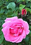 Rose, Flower, Blossom, Bloom, Pink Royalty Free Stock Photo