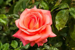 Rose flower royalty free stock photos