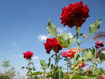 Rose flower blue sky Royalty Free Stock Photo