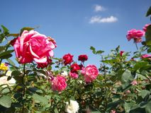 Rose flower blue sky Royalty Free Stock Photos