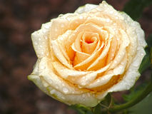 Rose Flower Blumen Lizenzfreie Stockfotografie