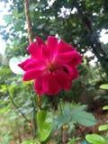 Rose. Flower, blur, red, leaf stock photo