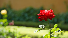 Rose,blur,single. Rose in the garden at the entrance of the Alcazaba in the city of Seville in Spain Stock Photos