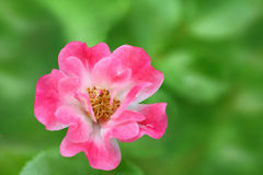 Rose flower on a blurred background. Stock Photography