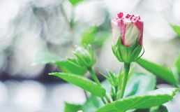 Vintage Pictuer Rose Flower Royalty Free Stock Photos