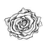Rose Flower Bud in Schetsstijl Tot bloei komende Enige Rose Head-bloem Hand getrokken Vector Geïsoleerde Rose Illustration stock illustratie