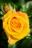 Rose flower bud top view in springtime. Yellow blossoming rosebud in spring garden. Royalty Free Stock Photography