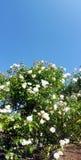 Rose flower bush Stock Photo