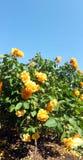 Rose flower bush Stock Image