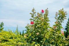 Rose flower bush stock images