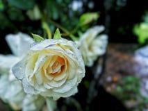 Rose Flower Captured After branca uma chuva foto de stock