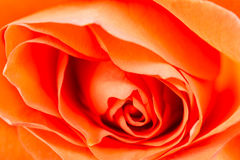 Rose flower close up. Bright orange, shallow focus. Close up of orange rose flower. Soft shallow focus for romantic effect Stock Photos