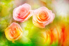 Rose flower close up Royalty Free Stock Photography